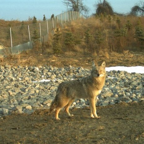 Coyote in foreground and a wildlife fence in the background.